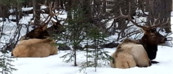 Elk can feast on your trees and shrubs over winter.