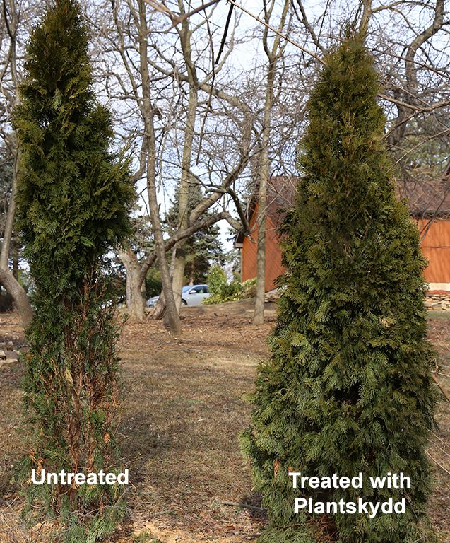 Plantskydd Deer Repellent protected the arborvitae on the right