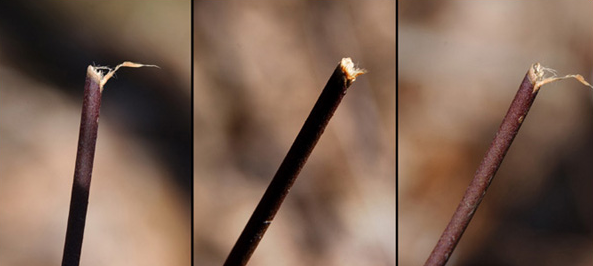 Examples of deer damage on stems
