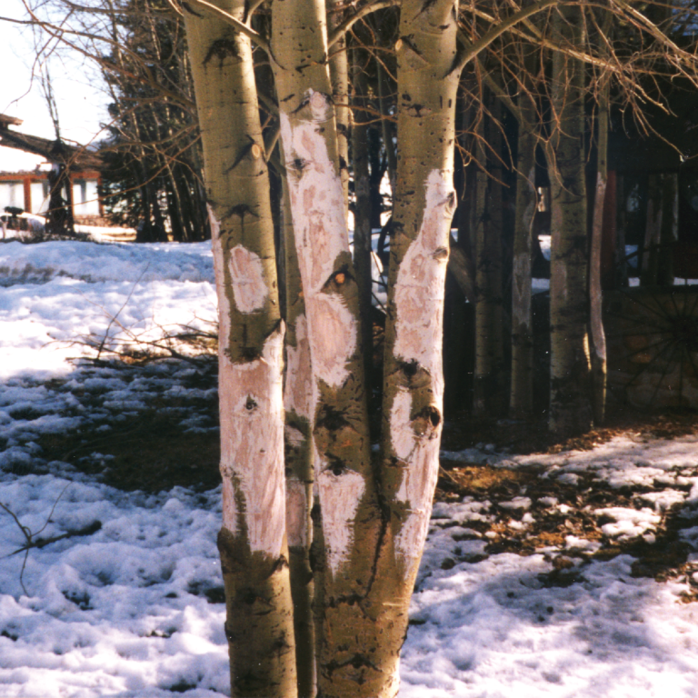Use Plantskydd Deer and Elk Repellent to prevent damage to aspen and other trees
