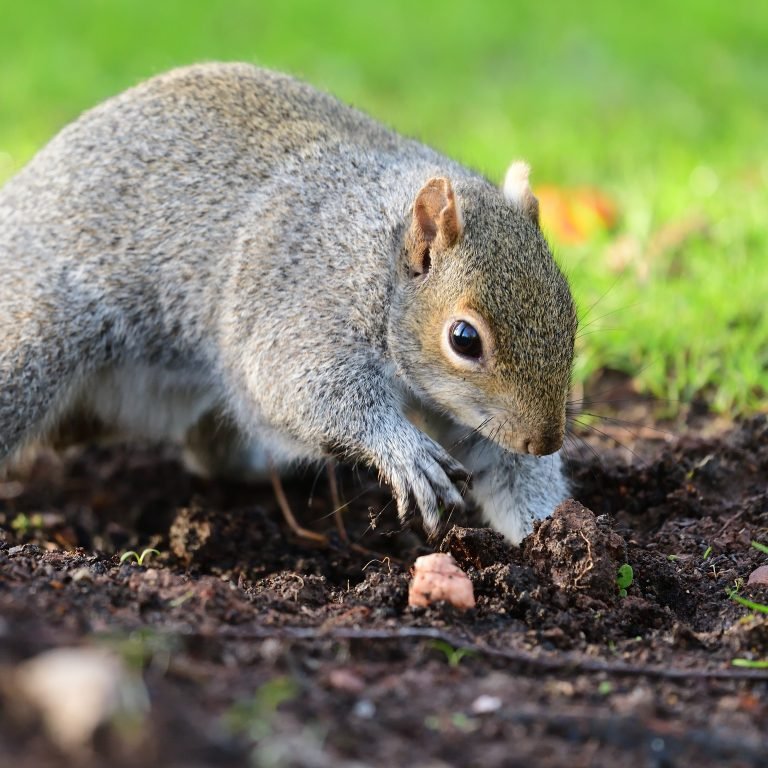 Plantskydd granular repellent will keep squirrels from digging in your yard