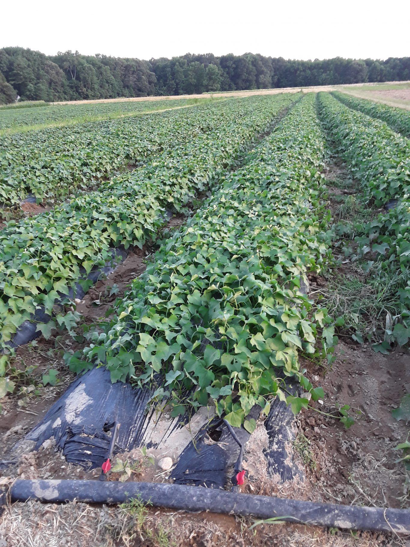 Sassafras Creek Farm - rows of sweet potatoes protected with Plantskydd Deer Repellent