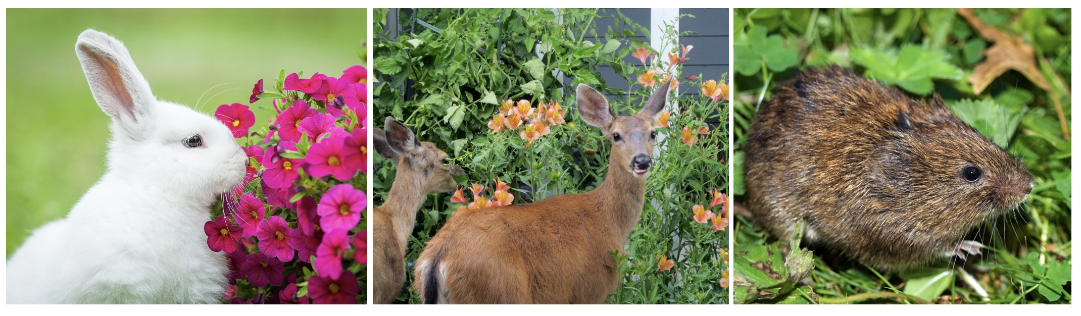 Protect your plants from rabbits deer and voles with Plantskydd